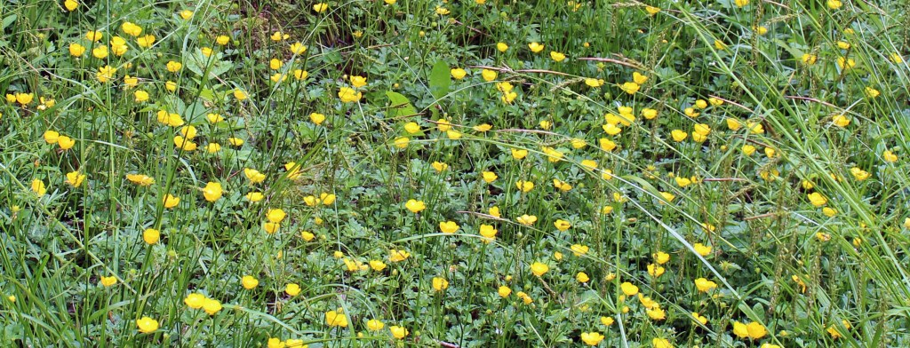 Flowers, Creeping Buttercup, June 2014