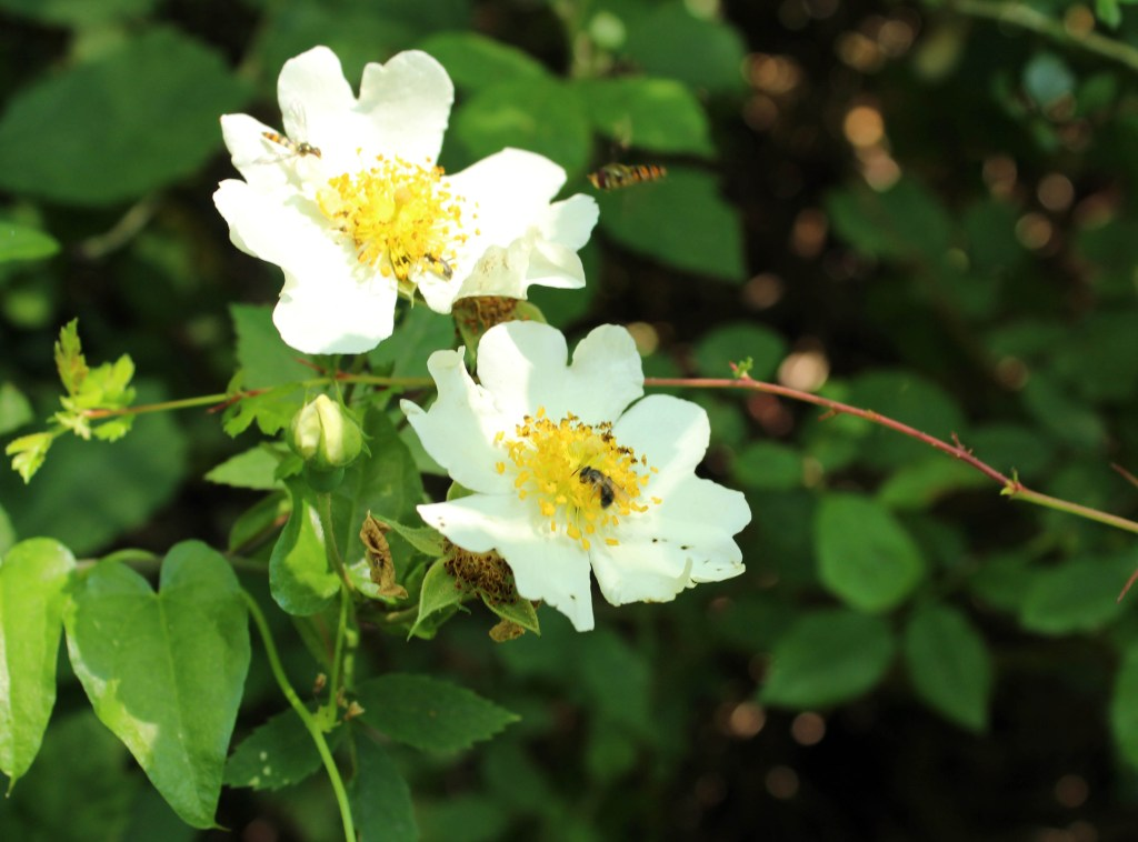 Flowers, Field Rose, provisional identification, June 2014