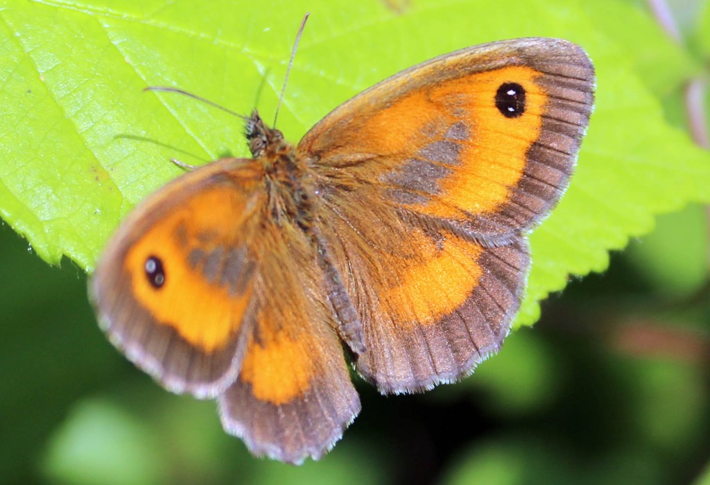 Butterfly, Gatekeeper, July 2014