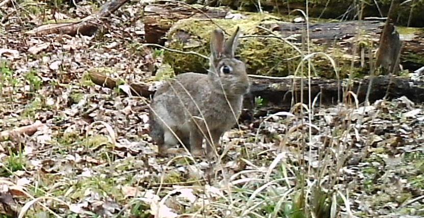 Fauna, Rabbit, March 2015