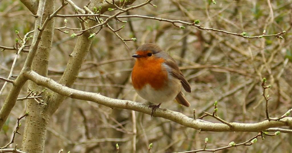 Bird, Robin, March 2015