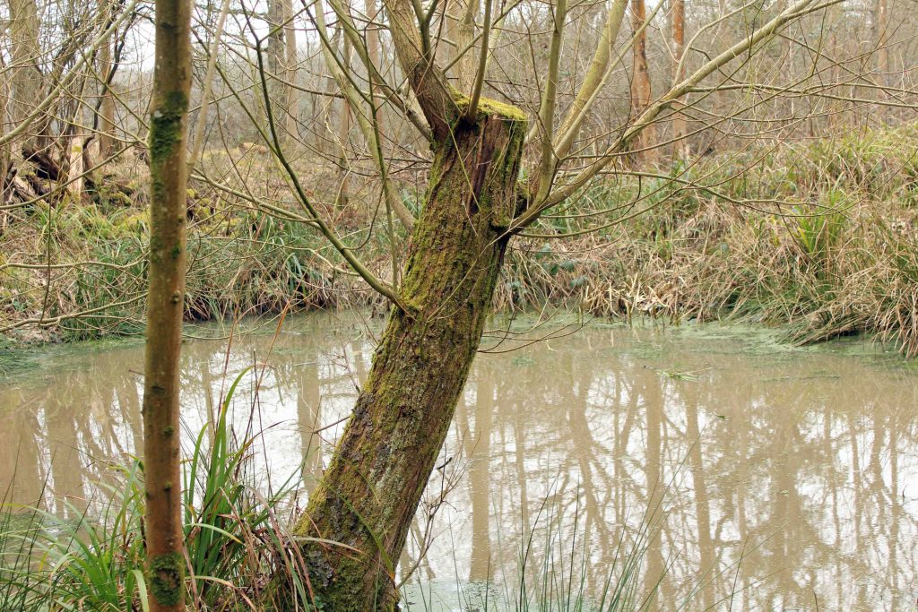 Trees, Crack Willow, March 2015