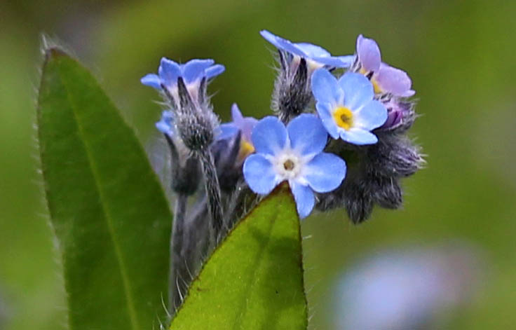 Flowers, Wood Forget-me-not, May 2015
