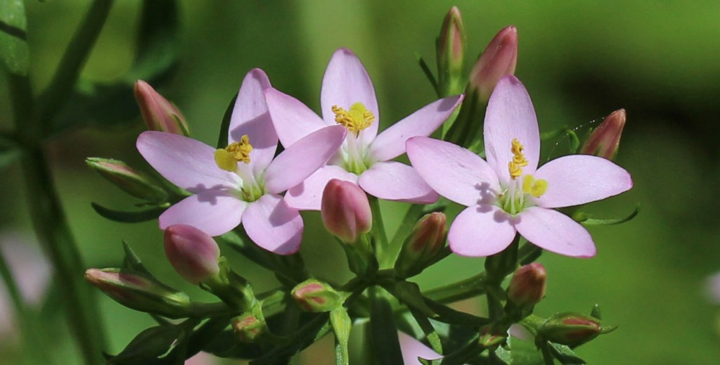 Flowers, Common Centaury, July 2015