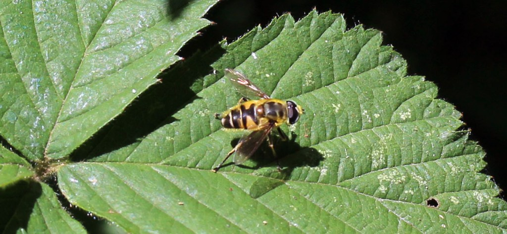 Insect, Hover fly, July 2015