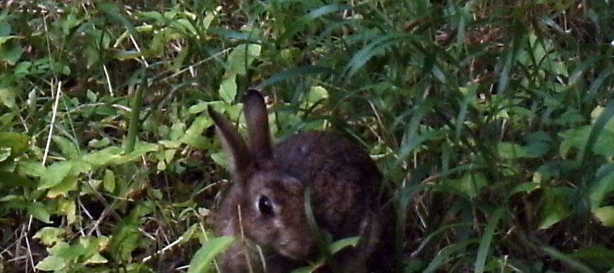 Fauna, Rabbit, July 2015