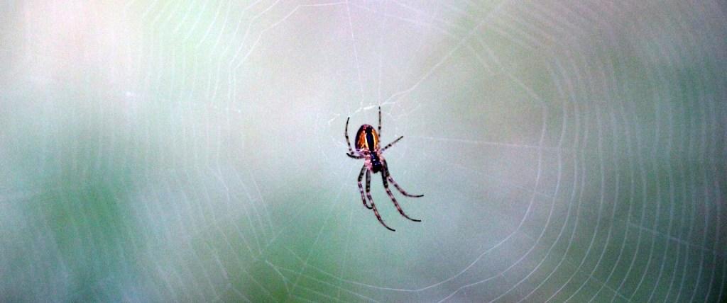 Spider, unidentified, September 2015