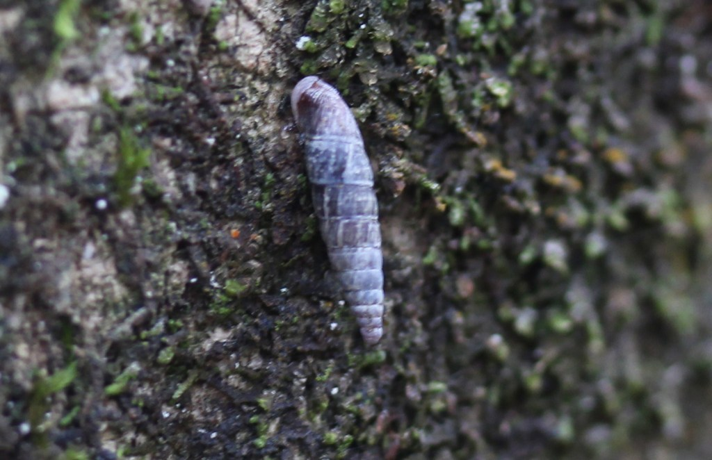 Pupae, unidentified, November 2015