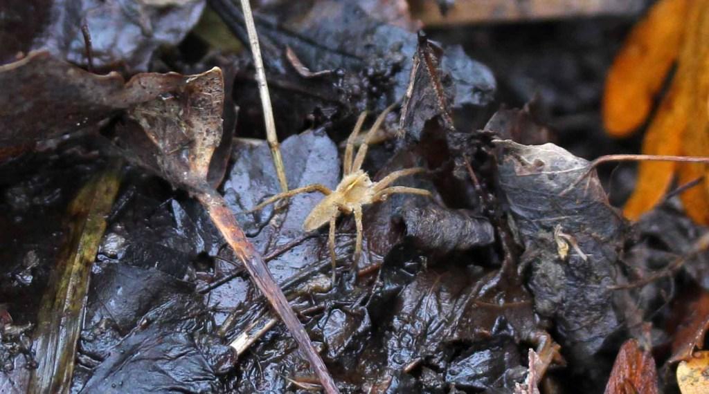 Spider, unidentified, December 2015