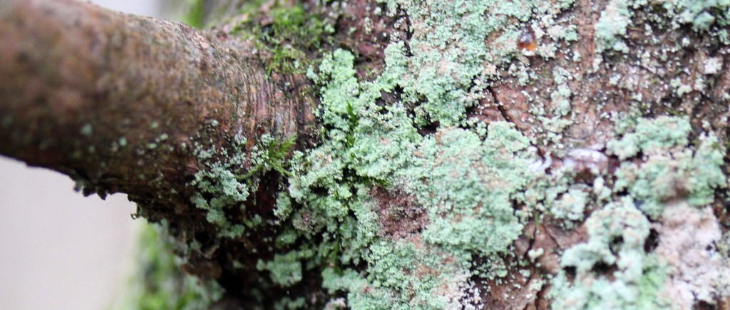 Lichen, Hypocenomyce scalaris, provisional identification, January 2016