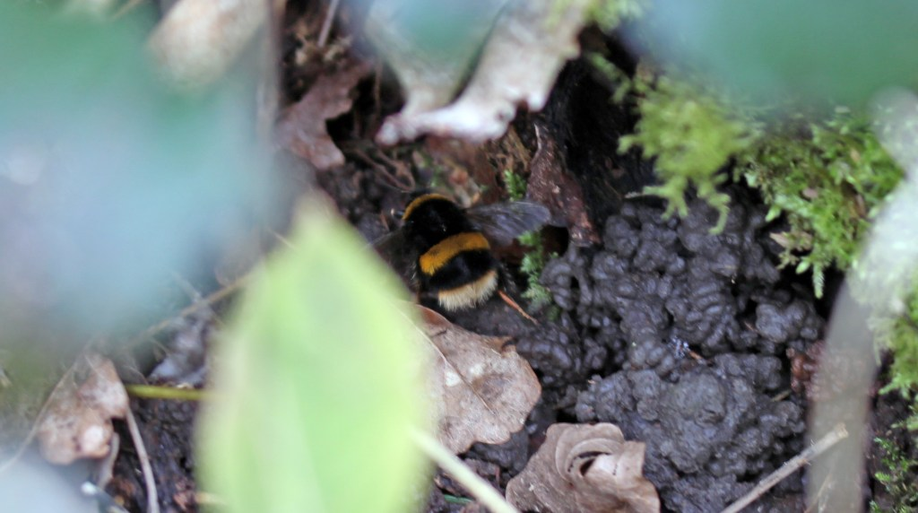 Insect, Bumblebee, Bombus terrestris, March 2016