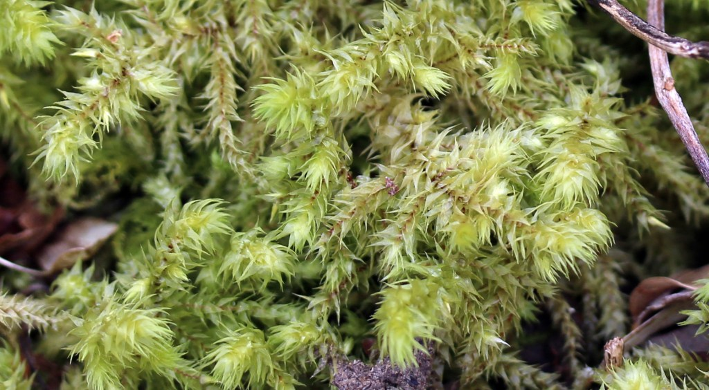 Moss, Hair-pointed Feather-moss, provisional identification, March 2016