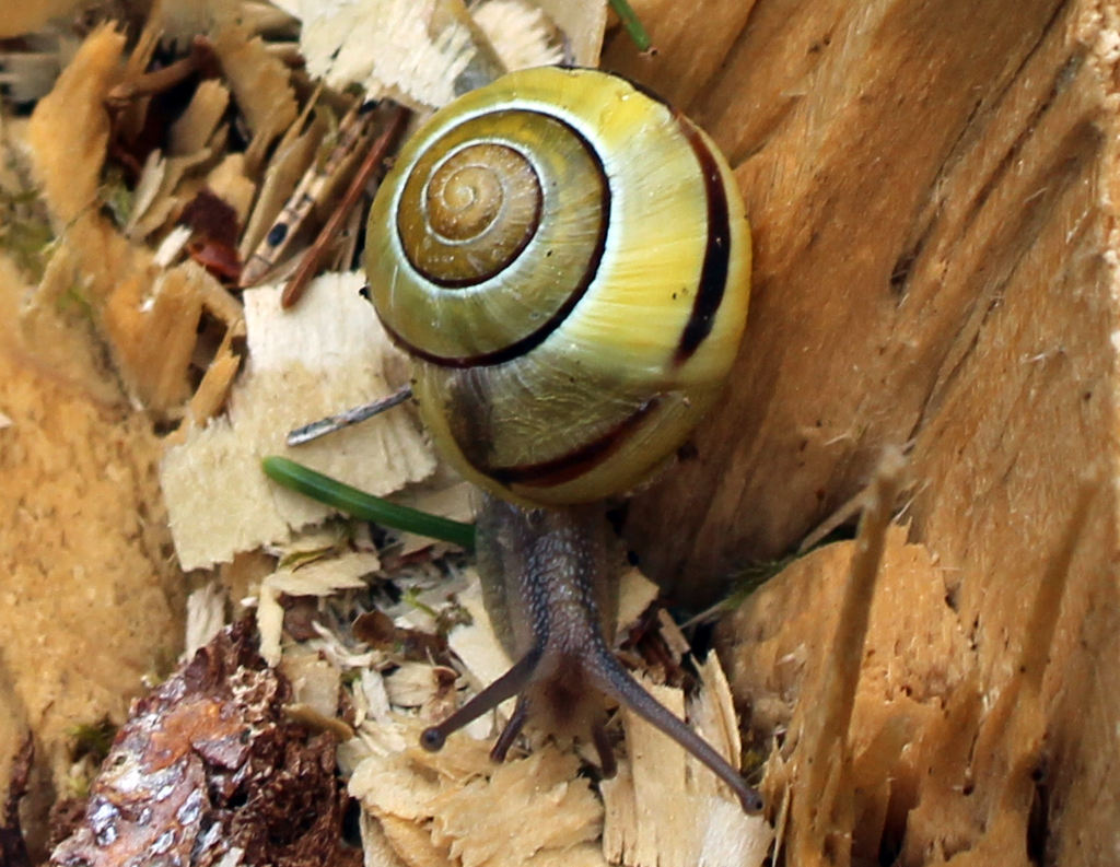 Mollusc, Brown-lipped snail, provisional identification, April 2016