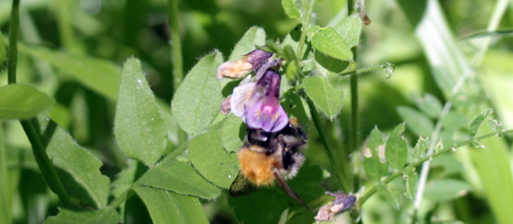 Insect, Bee, Vetch, May 2016