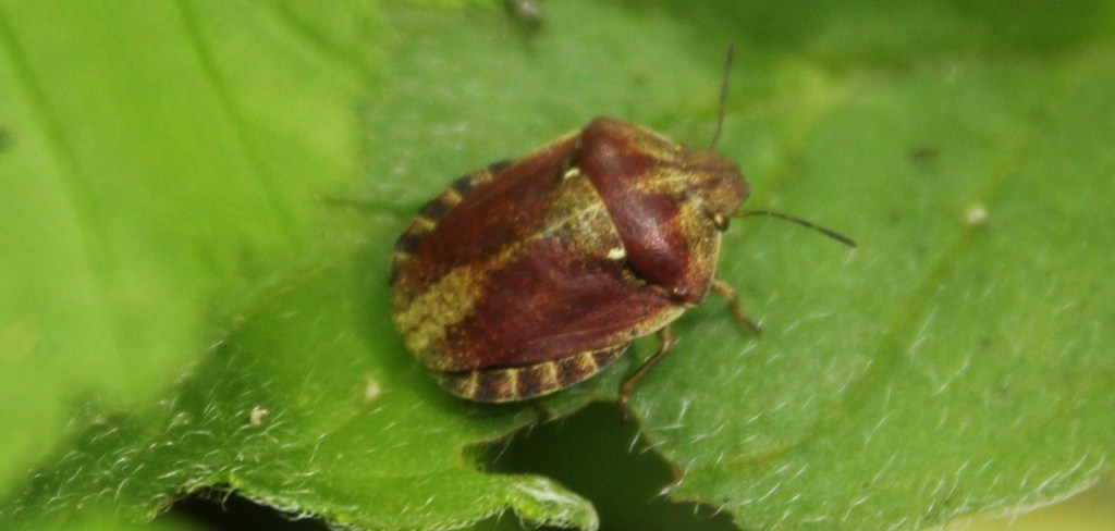 Insect, Shield Bug, provisional identification, June 2016