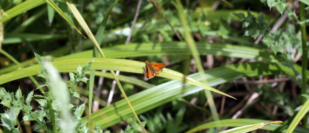 Butterfly, Skipper, June 2016
