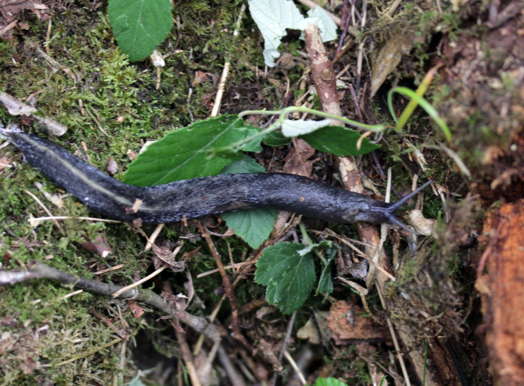 Molluscs, Great Black Slug, provisional identification, August 2016