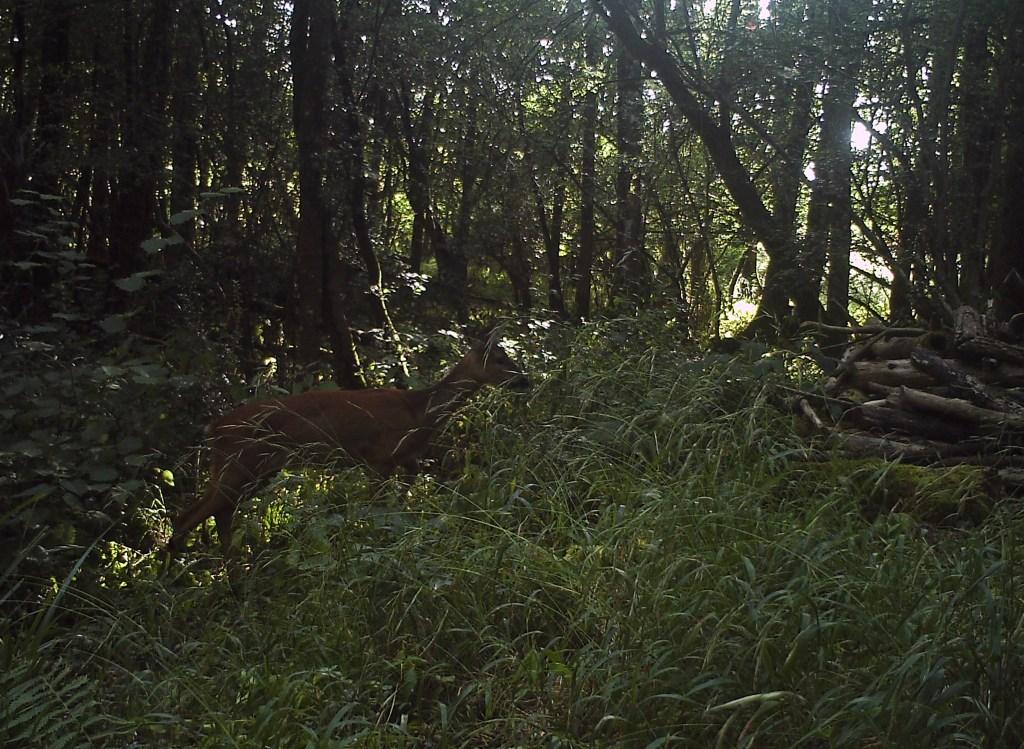 Fauna, Roe Deer, August 2016