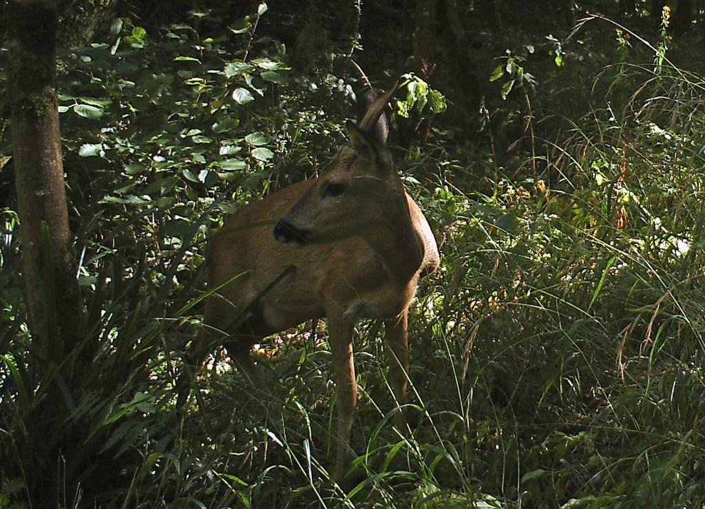 Deer, Roe, August 2016