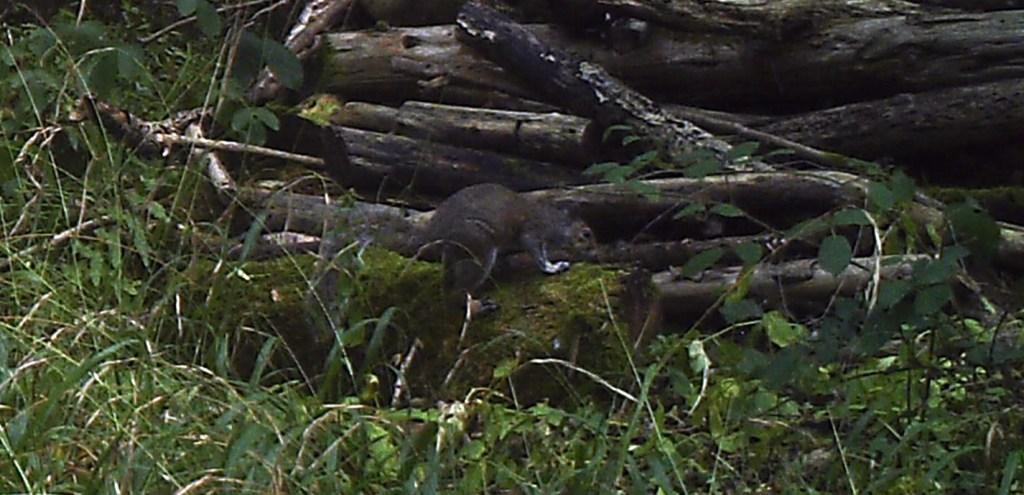 Fauna, Grey Squirrel, September 2016