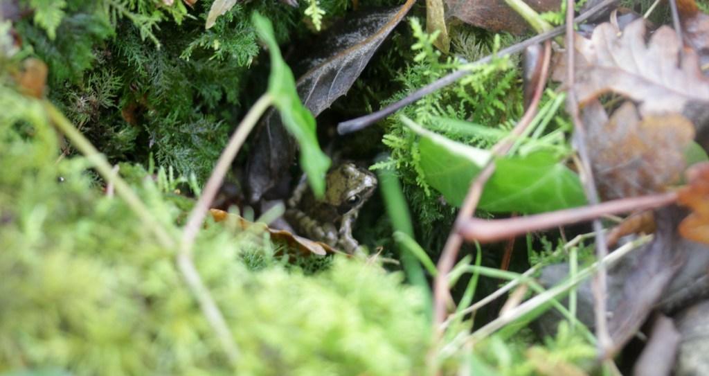 Frog, amphibian, November 2016
