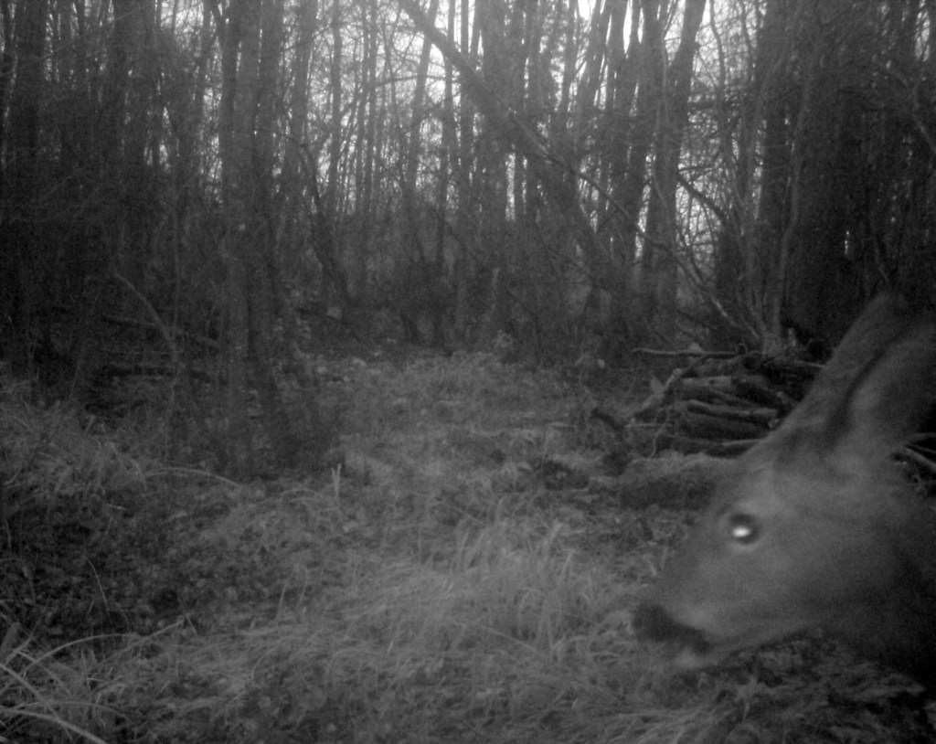 Fauna, Roe Deer, January 2017