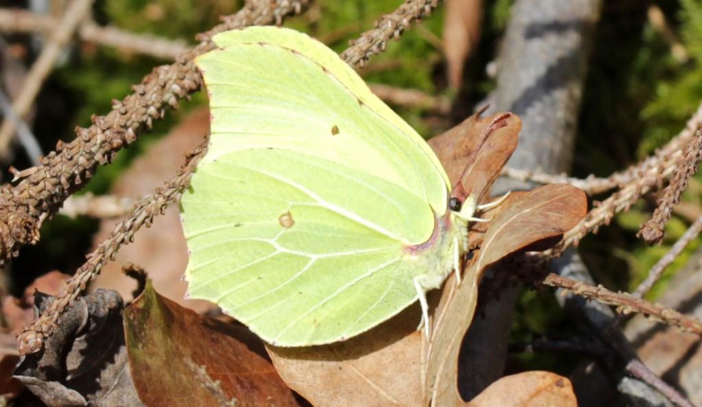 Butterfly, Brimstone, March 2017
