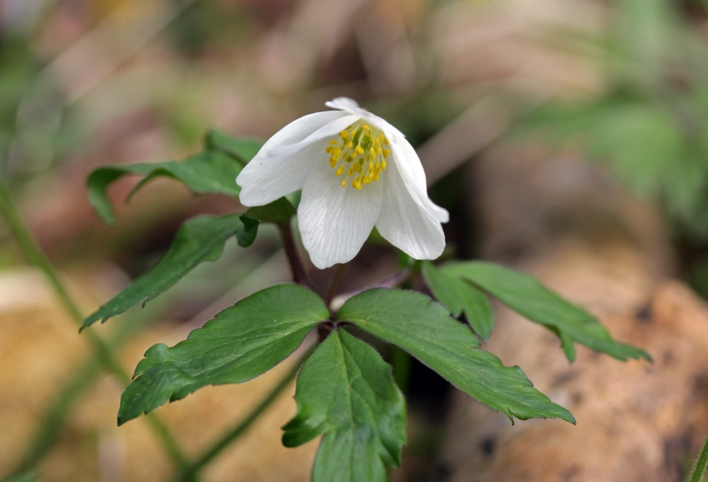 Flowers, Wood Anemone, March 2017