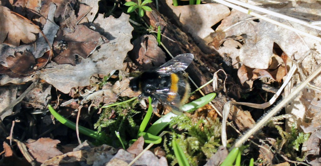 Bumblebee, unidentified, March 2017