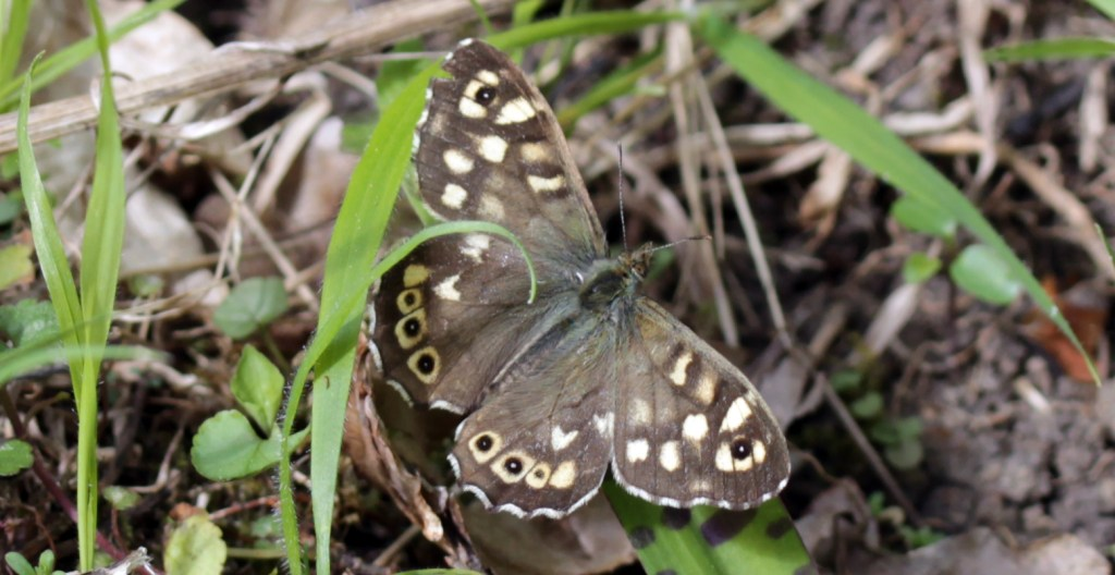 Butterfly, Speckled Wood, April 2017