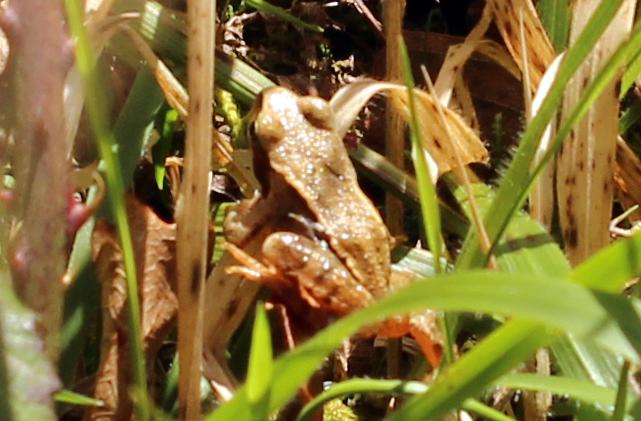 Amphibian, Frog, March 2017