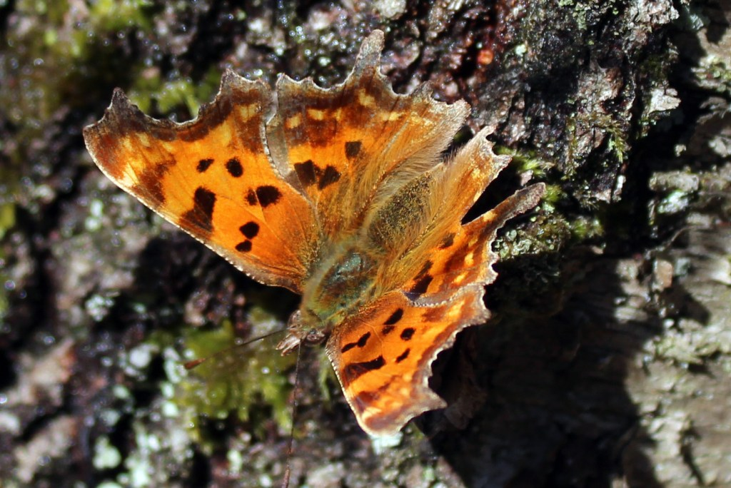 Butterfly, Comma, March 2017