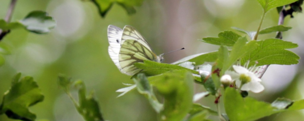 Butterflies, Site butterfly, Green-veined White, April 2017