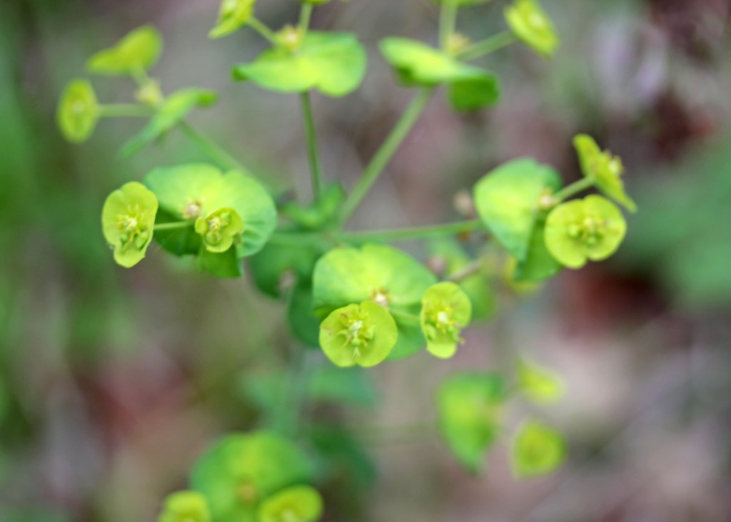 Flowers, Wood Spurge, April 2017