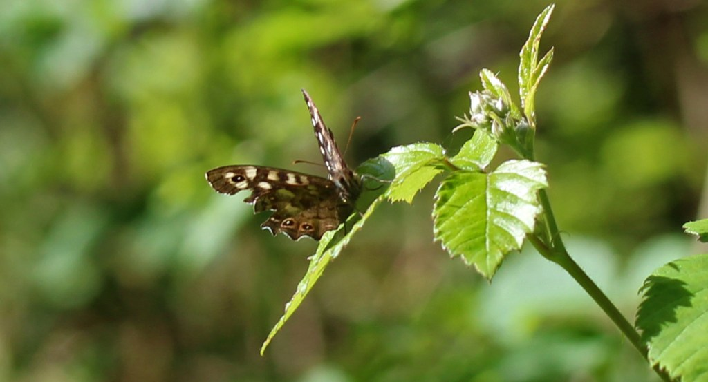 Butterfly, Speckled Wood, June 2017