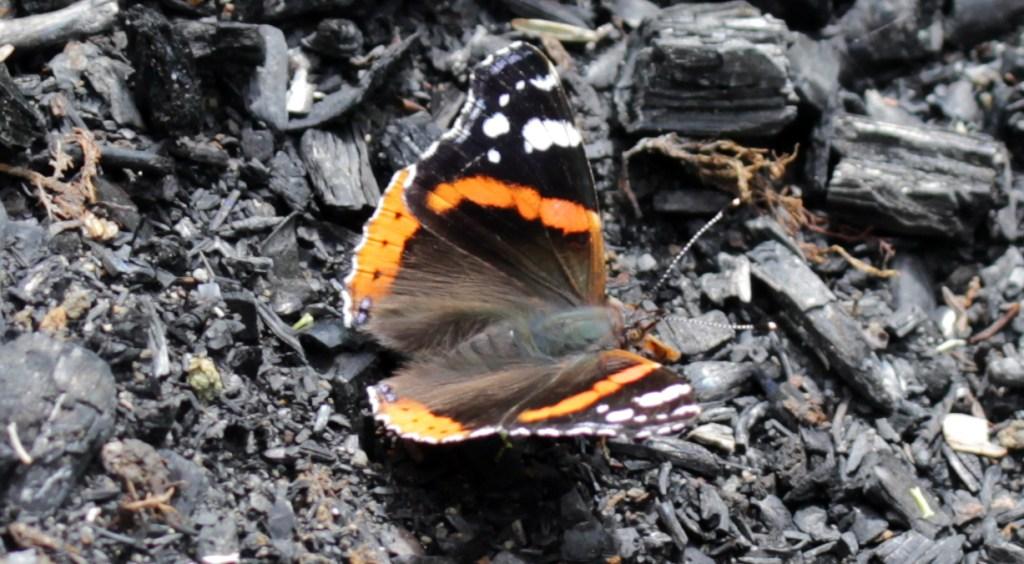 Butterflies, Red Admiral, July 2017