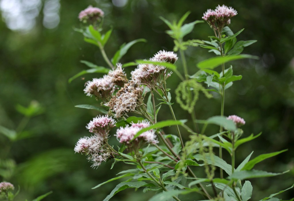 Flowers, Hemp-agrimony, July 2017