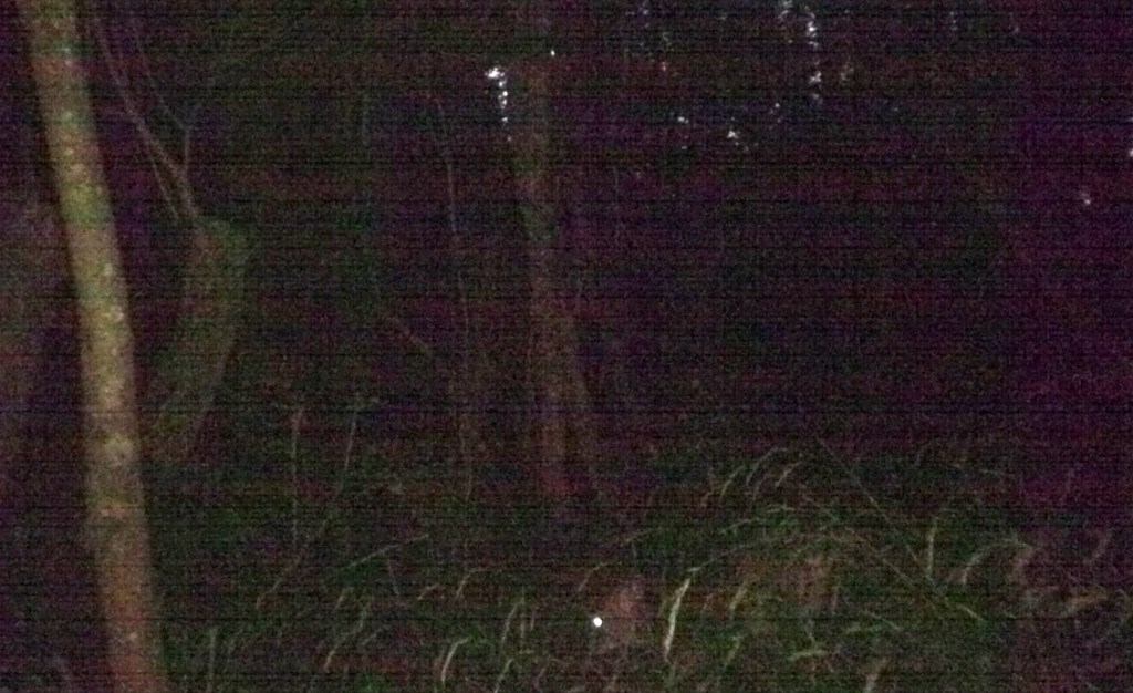 Deer, Muntjac, August 2017