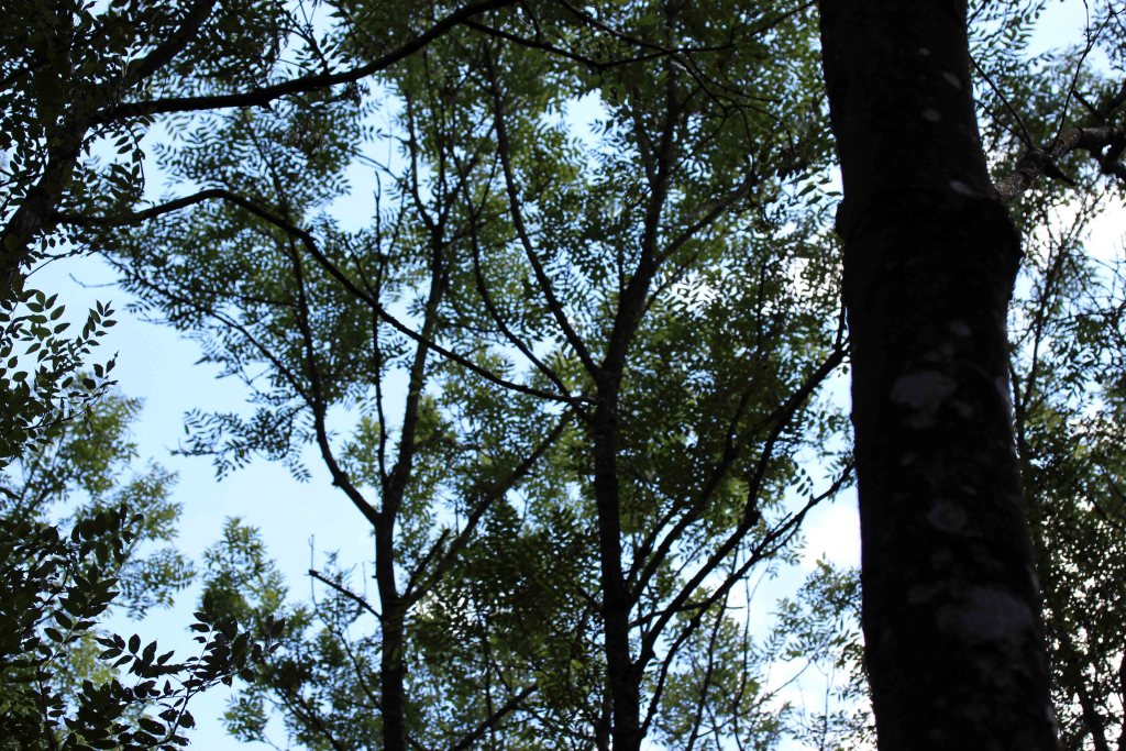Trees, Ash, August 2017