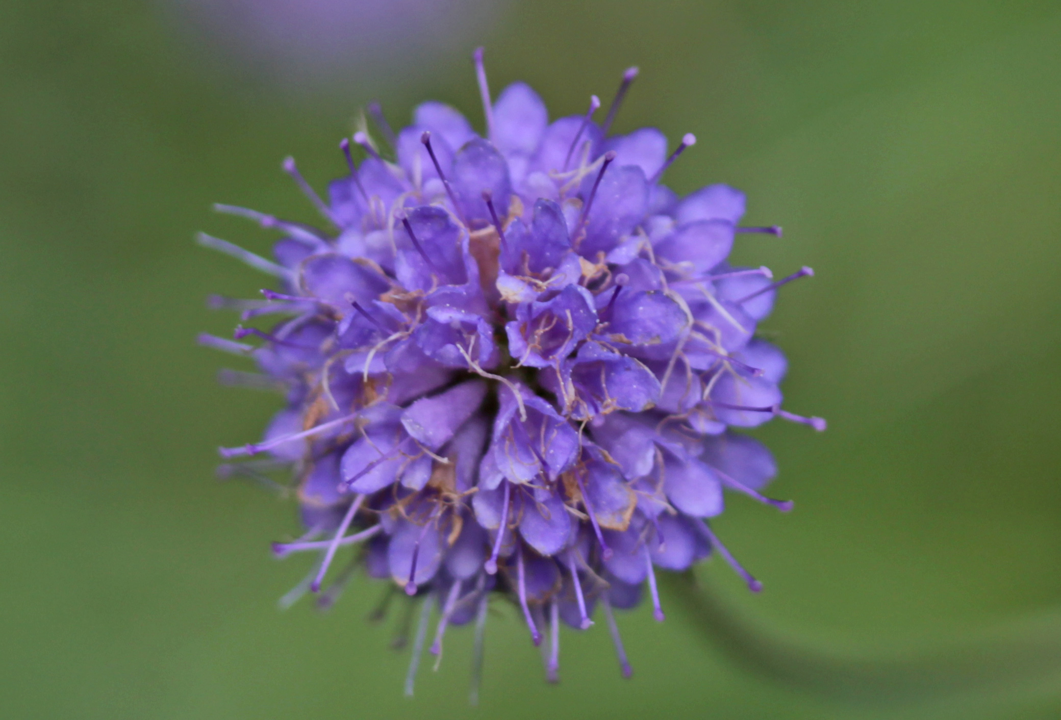 Flowers, Devils-bit Scabious, September 2017