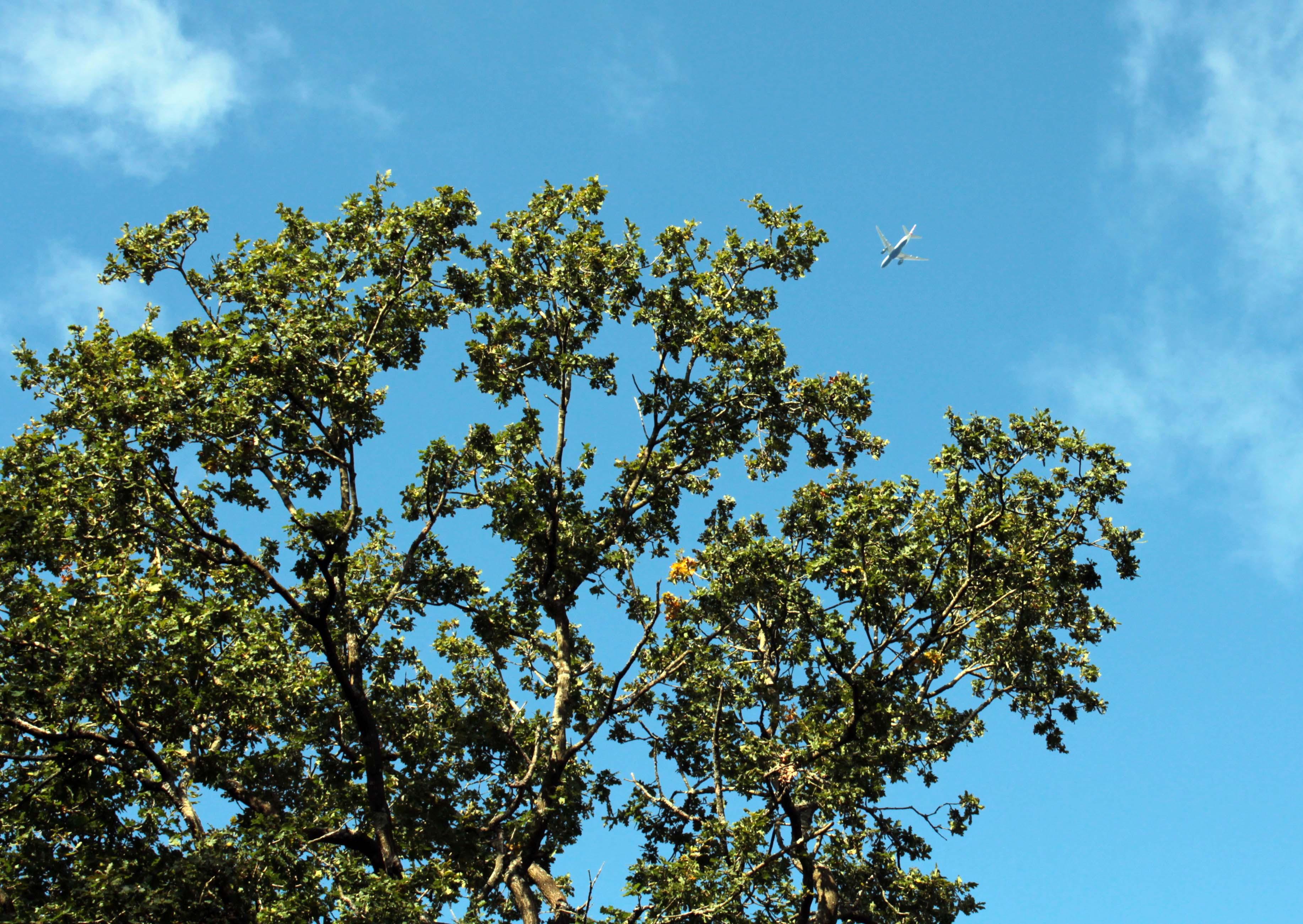 Trees, Oak, September 2017