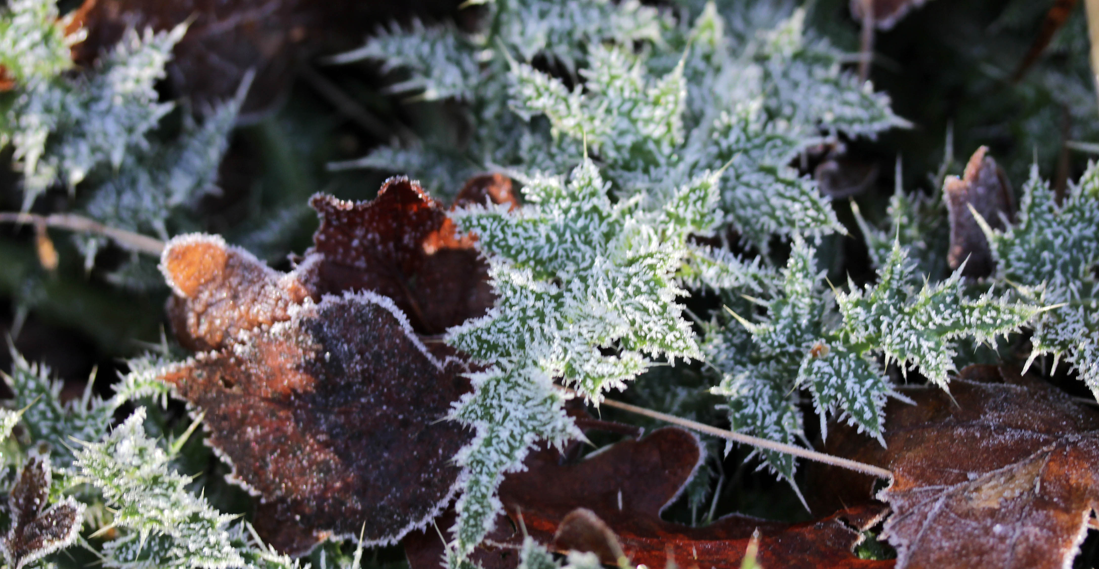 Flowers, thistle, frost, December 2017