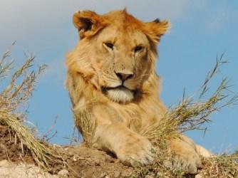 edited lion