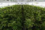 Cannabis in Pain