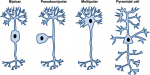Chapter 44 – Neuronal Structure and Function