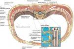 Truncal block anatomy