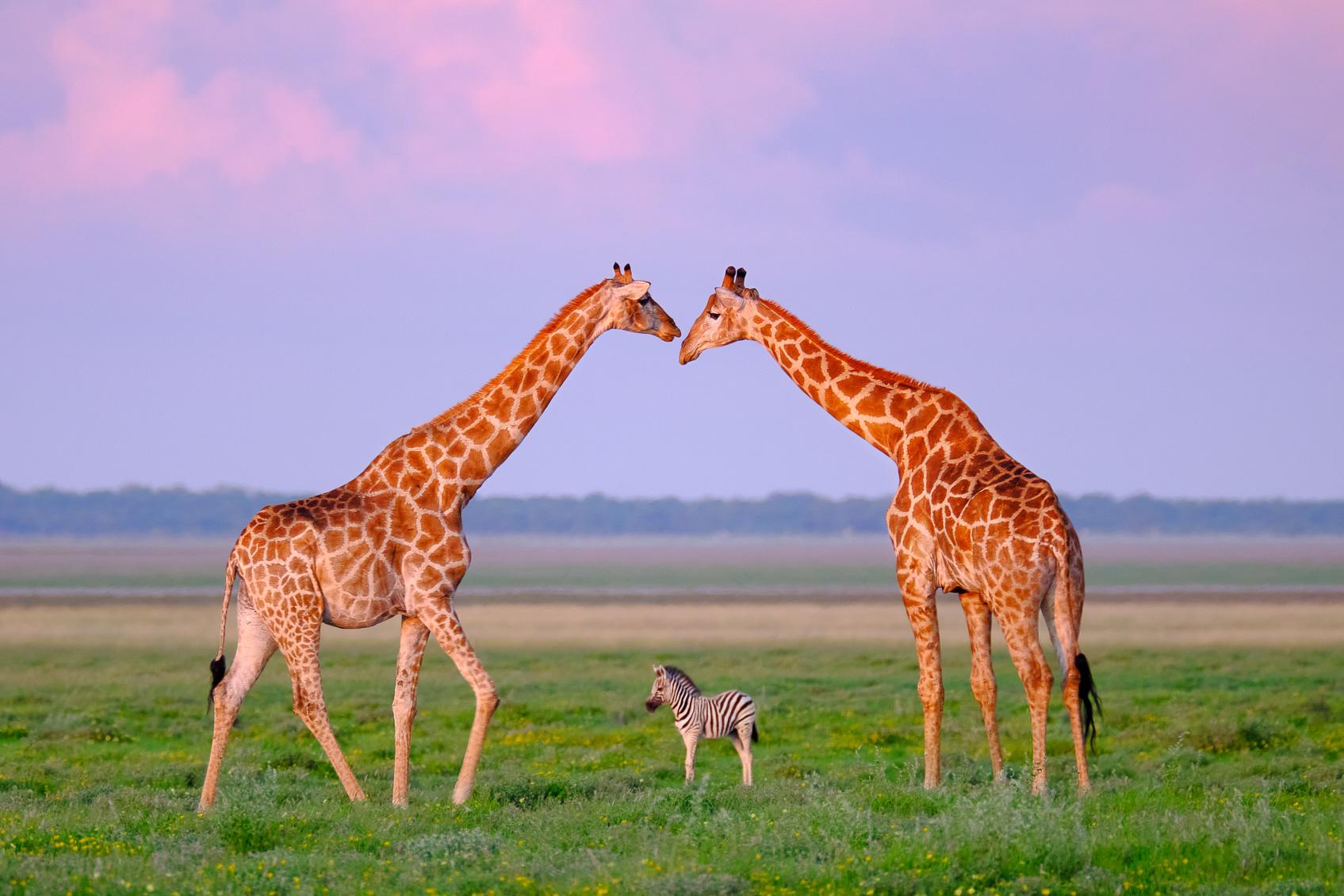 Giraffes Archway For A Zebra Foal Wildlife Photography