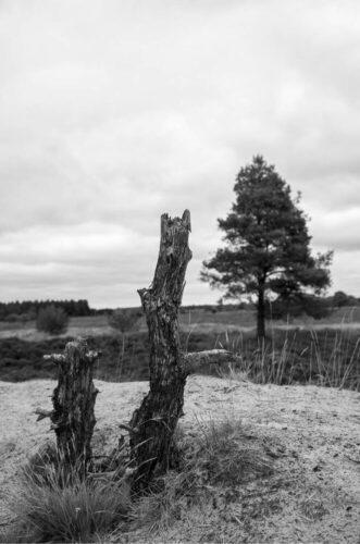 Træstubbe sort hvid