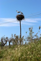 White storks (Ciconia ciconia) build huge nests of twigs to hold their clutch of four eggs.