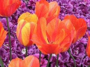 """When most people think of Dutch tulips, they picture the flamboyantly flamed variety often called """"Rembrandts"""" for their hand-painted look. (Rembrandt really didn't paint such striped beauties, but other Dutch masters did.) A blossom with a multi-colored blaze was called a """"broken tulip,"""" and the effect was caused by a virus transmitted by aphids. The disease eventually killed off many of the most famous tulip varieties cultivated by the Dutch in the 17th century. Today, other hybridizing methods are used to create the same streaked effect."""